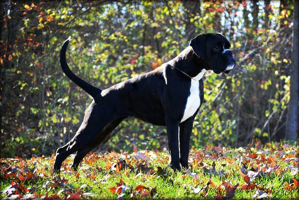 Home Page Protection Dogs Boxer Puppies White Boxer Dogs Boxer Puppies For Sale