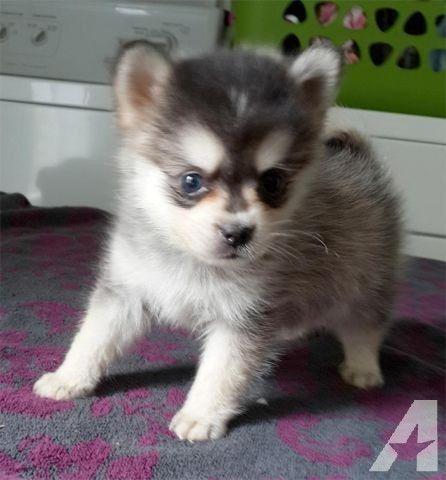 Gerberian Shepsky Full Grown Pomsky Puppies ...