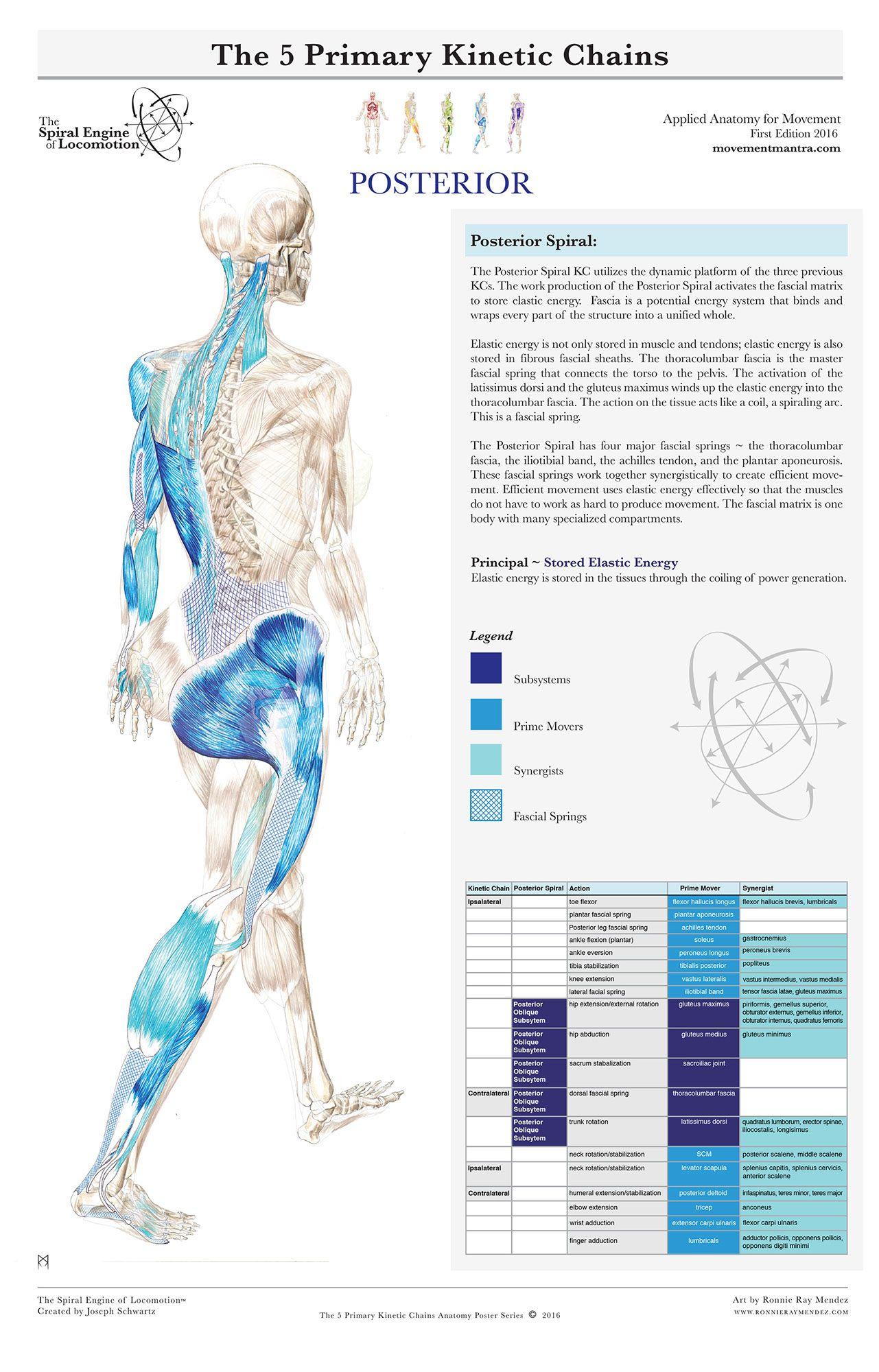 Amazing Tom Myers Anatomy Photo - Anatomy Ideas - yunoki.info