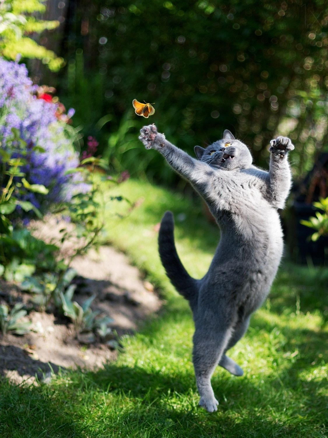 Cat reaching for butterfly......NO - NO  I AM NOT TRYING TO CATCH IT......I'M JUST STRETCHING MY FRAME......THEY TAUGHT THIS EXERCISE IN CLASS!! ...(HEE HEE---WONDER IF SHE BELIEVES ME?????)......ccp