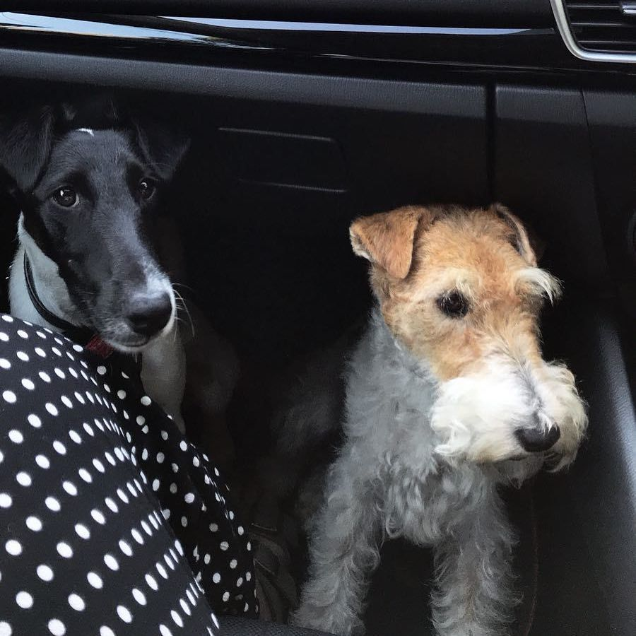 From Sydney Australia. Tui the Wire Fox Terrier says, \