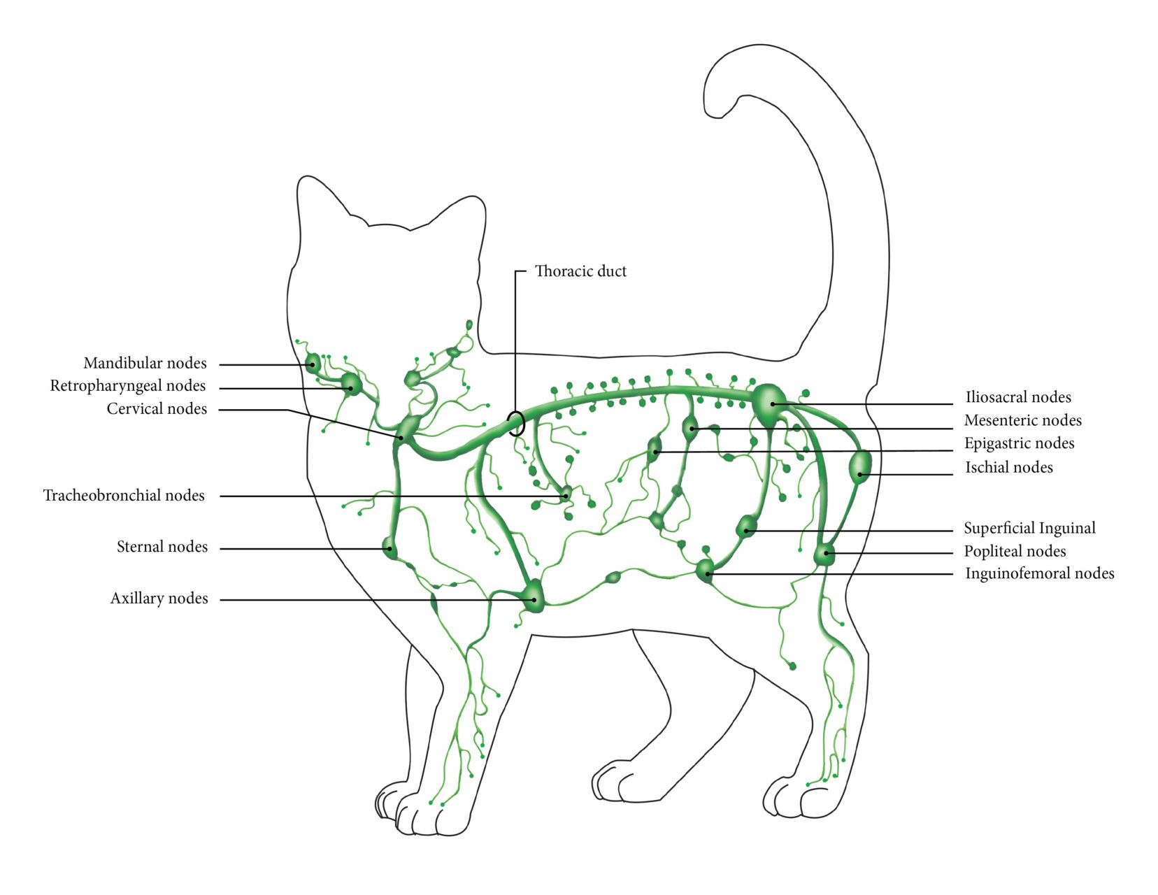 Image Result For Diagram Of A Cat S Lymphatic System