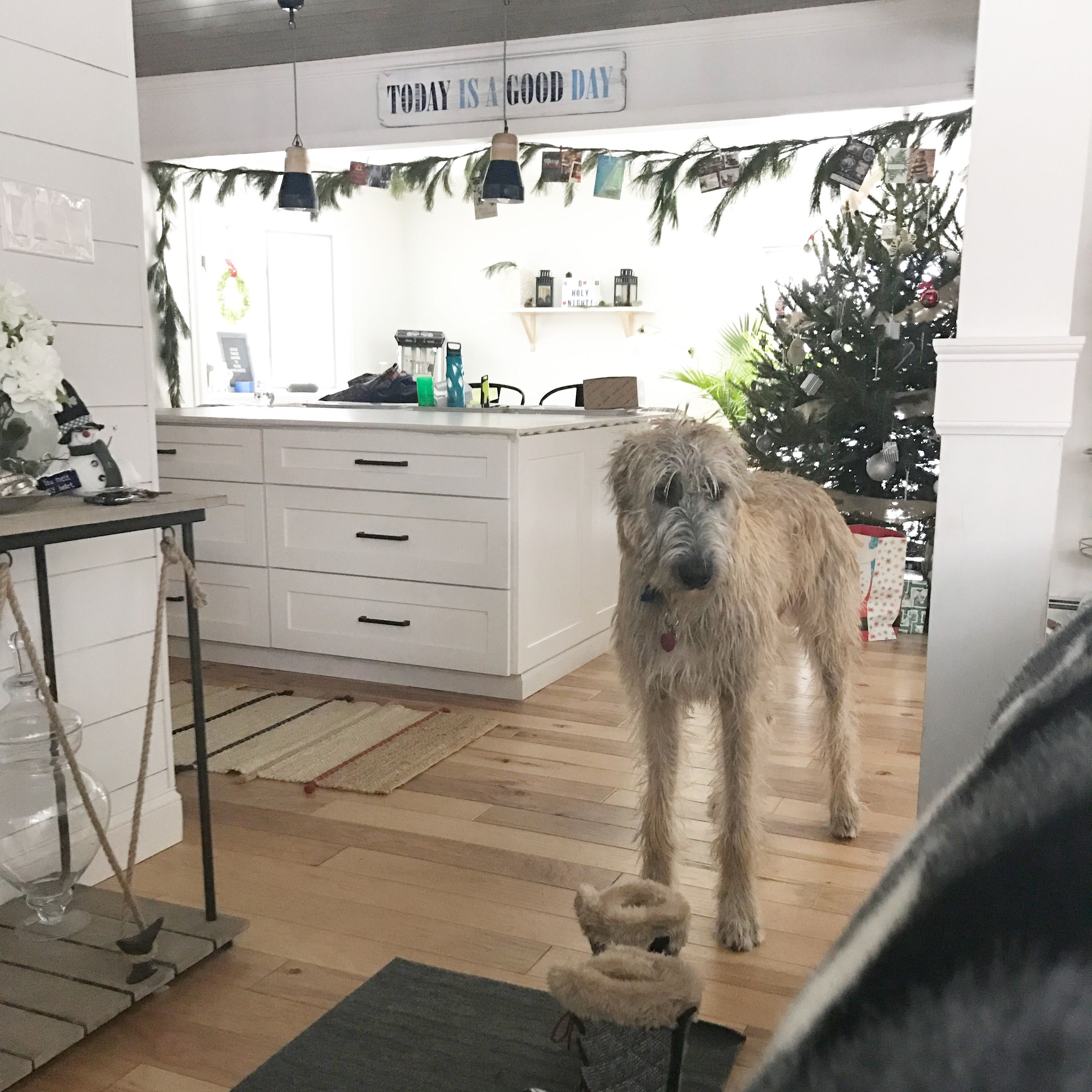 An Irish Wolfhound in our Salty Beach House ready for winter fun!