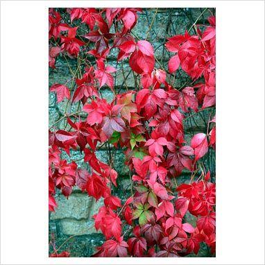 GAP Photos - Garden & Plant Picture Library - Parthenocissus quinquefolia - Virginia creeper - GAP Photos - Specialising in horticultural photography