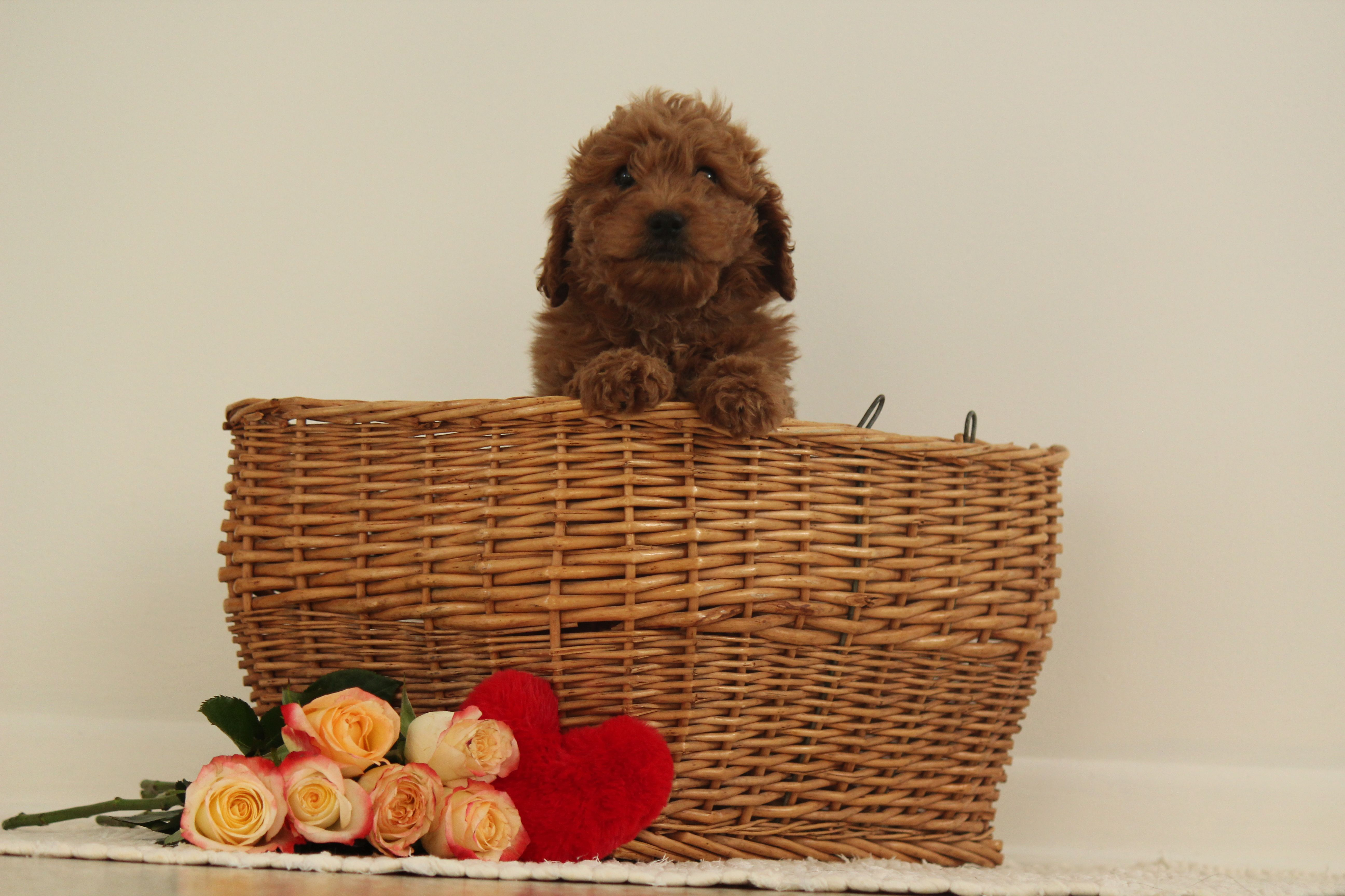 Greta F1b Miniature Goldendoodle Pup For Sale At Wakarusa Indiana In 2020 Puppies For Sale Puppy Finder Goldendoodle
