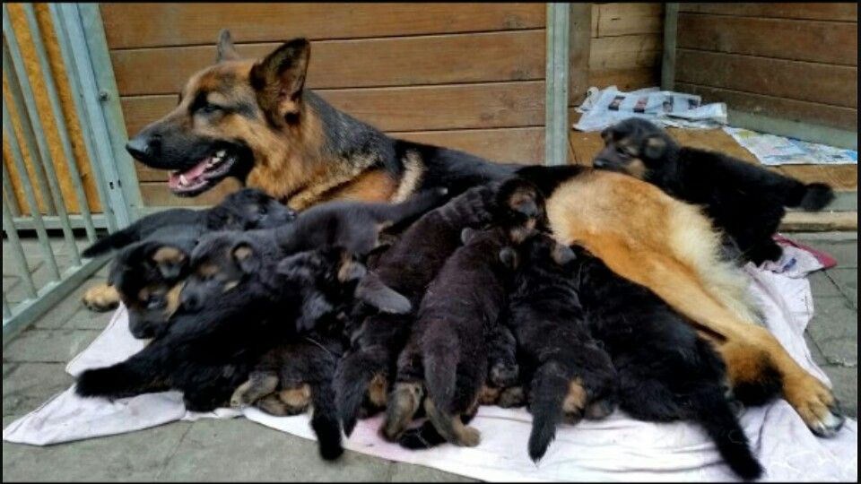 Many Puppies The Average Litter Is From 5 10 Pups But They May