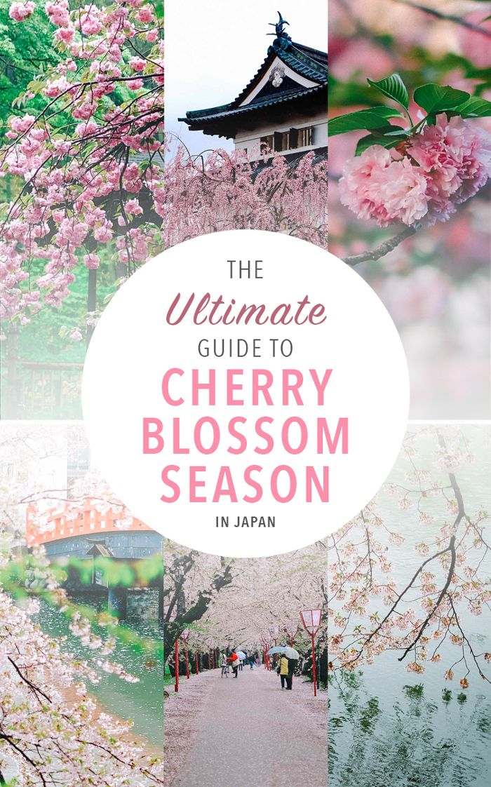 Ultimate Guide To Viewing Cherry Blossoms In Japan Cherry Blossom Japan Japan Travel Destinations Beautiful Places In Japan