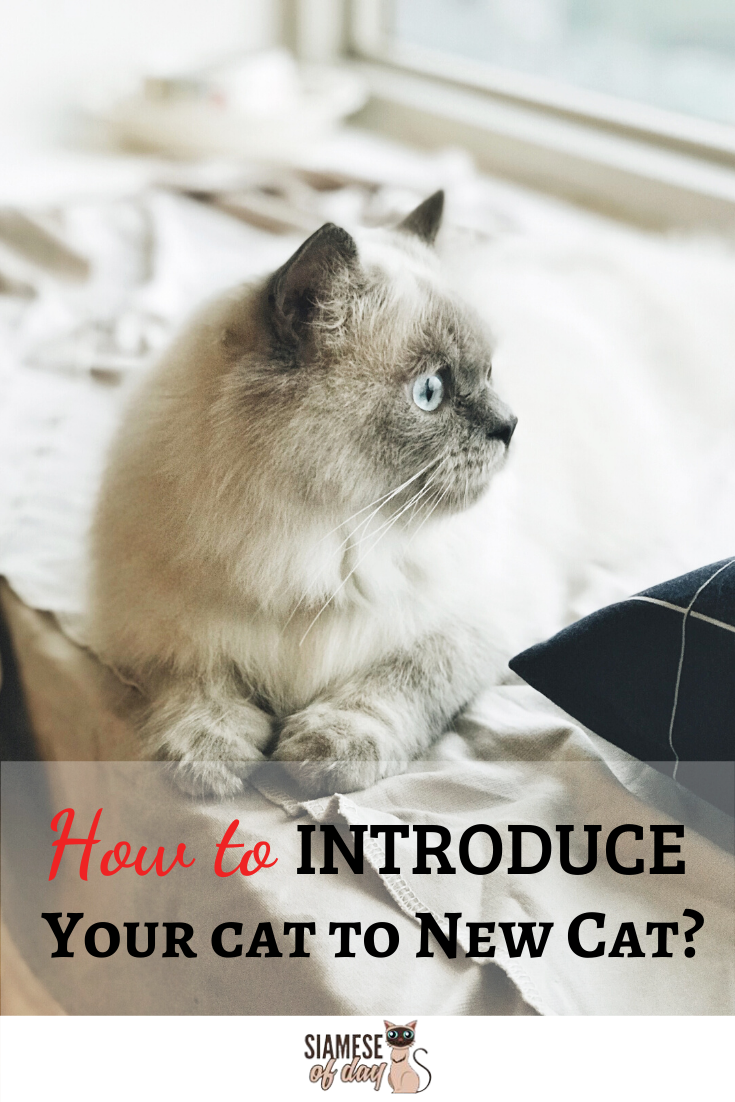 The Do S And Don Ts Of Introducing Cats Siamese Of Day Cats How To Introduce Cats Animals Care