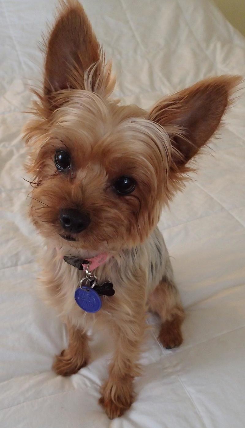 Adopt Gertie On Yorkie Cute Animal Photos Terrier Breeds