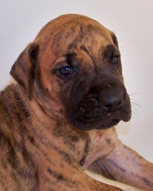 Our Akc Great Dane Puppies Superior Brindles Euro Pups Healt