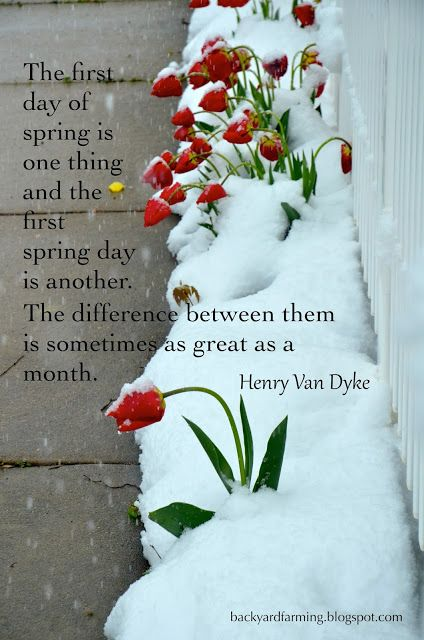 Tulips In Snow Garden Quote From Henry Van Dyke The First Day Of