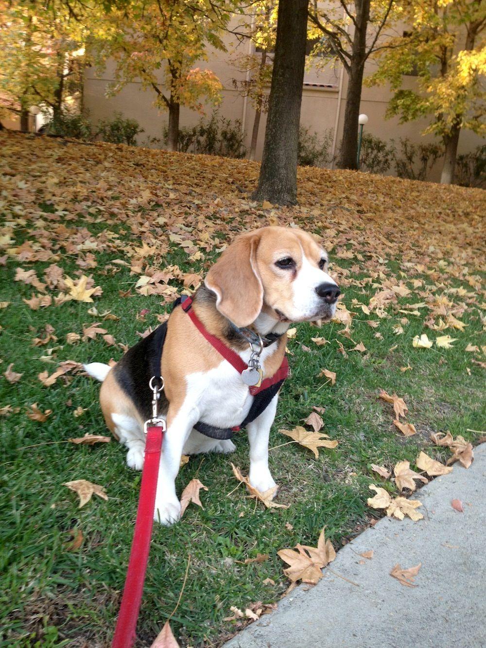 Kiaora Enjoying A Nice Fall Sunday Dog Rocks Beagle Breeds Beagle