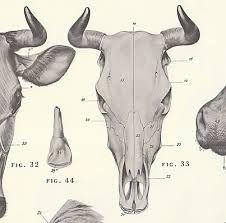 Cow Skull Diagram - Schematics Wiring Diagrams •