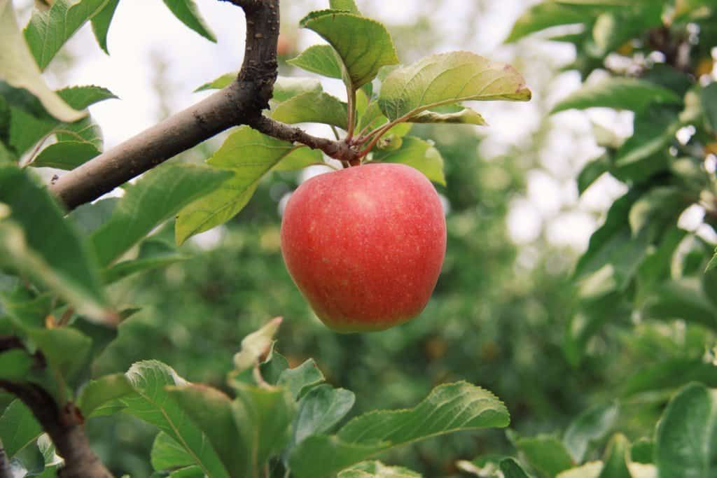 How long does it take for an apple tree to grow apple