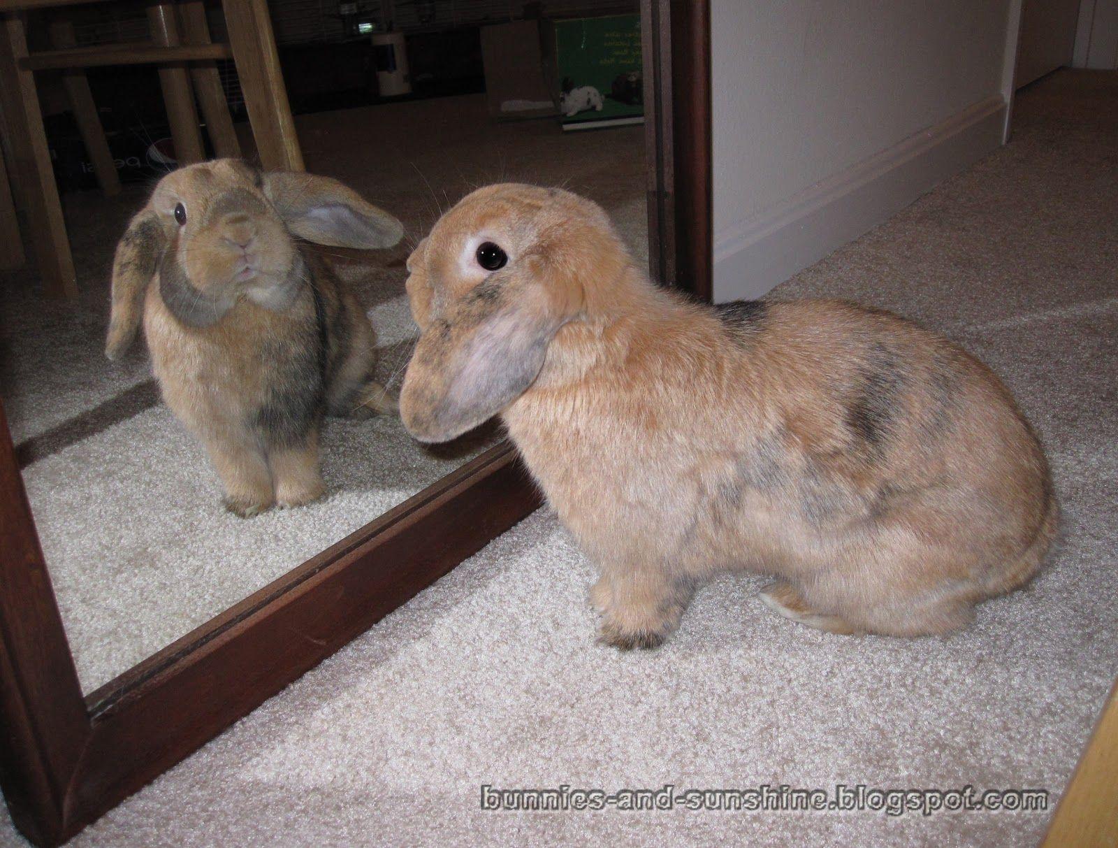 Obese Rabbit, Fat Rabbit, Overweight Rabbit, Hepatic Lipidosis