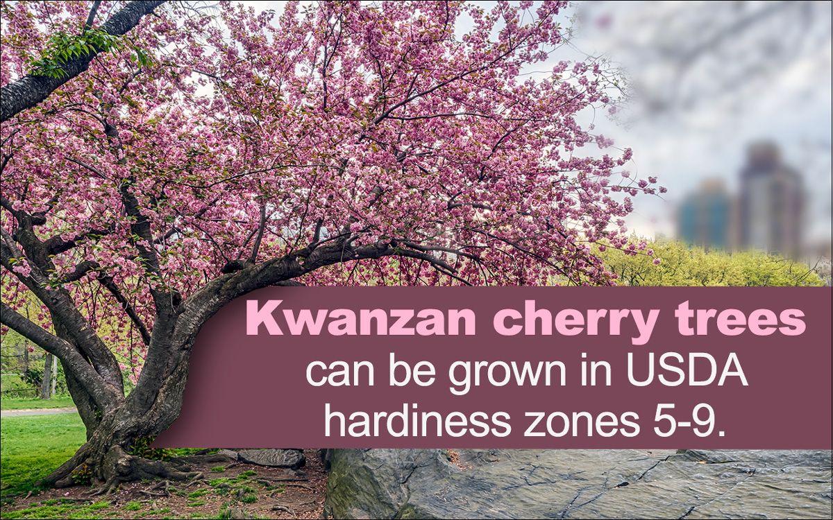 Kwanzan Cherry Tree Kwanzan Cherry Cherry Tree Flowering Cherry Tree