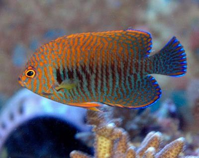 Featured Fish On Sale This Week Reef Safe Fish Sea Fish Fish