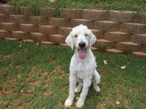 I Found Chloe Adoption Pending On Adopt Me Goldendoodle