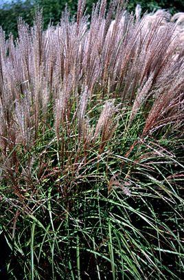 Miscanthus sinensis 'Kleine Silberspinne' | Eulalia ...