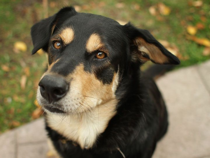Labrador Retriever Rottweiler Mix Rottweiler Mix Labrador