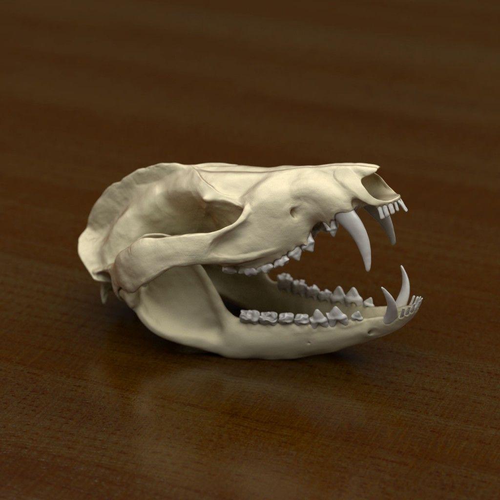 Opossum skull | Skulls | Possum skull, Animal skulls, Skull