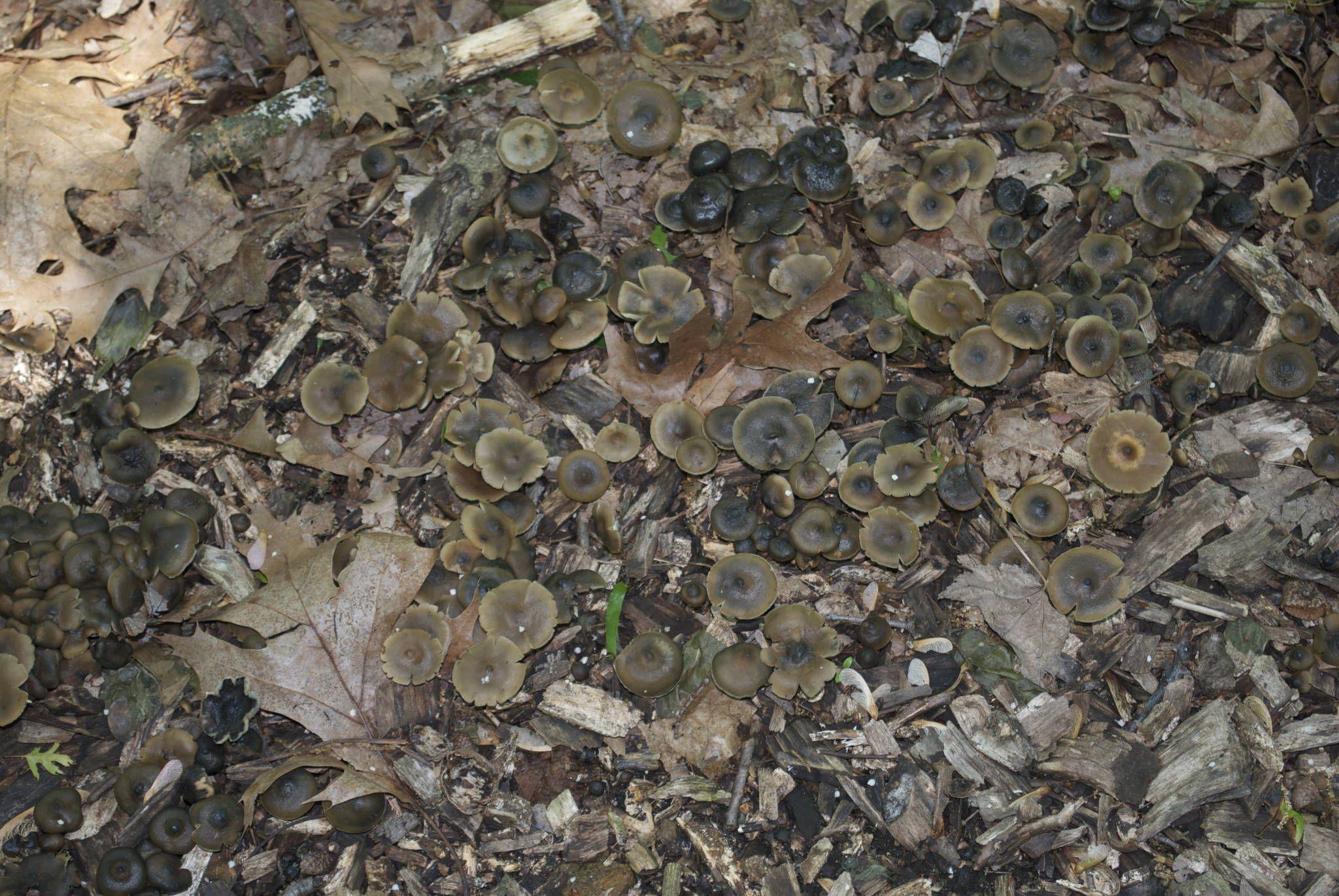 Grow chaga, the immortality mushroom