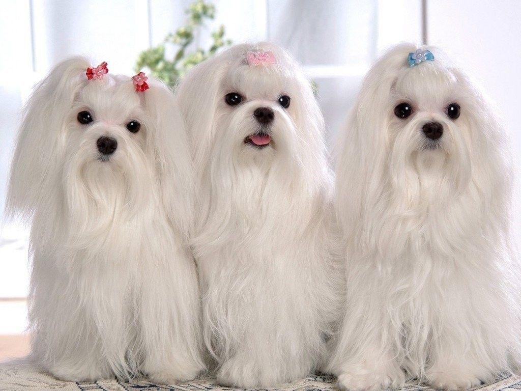 Image Result For Bichon Frise Shih Tzu Long Hair Cani Maltese Cuccioli Carini Cani Enormi
