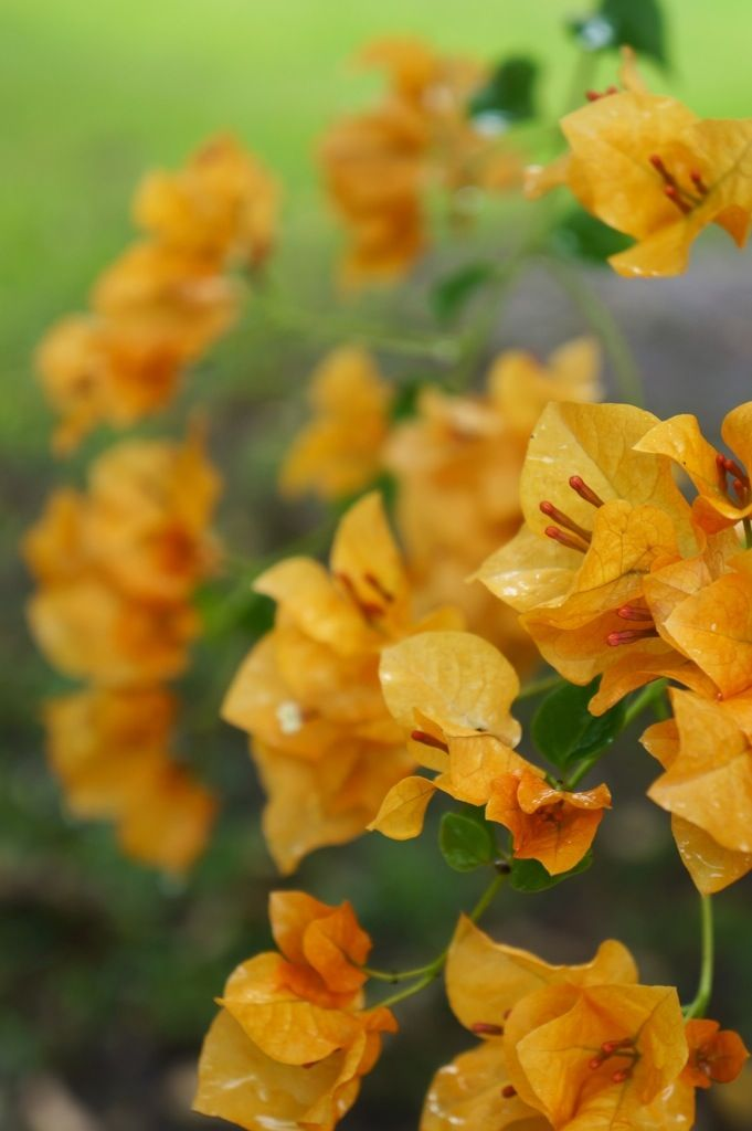yellow bougainvillea whose yard is that anyway