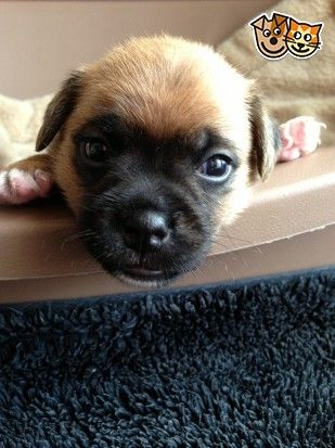 Gorgeous Chunky Jug Puppies For Sale Jug Puppies For Sale