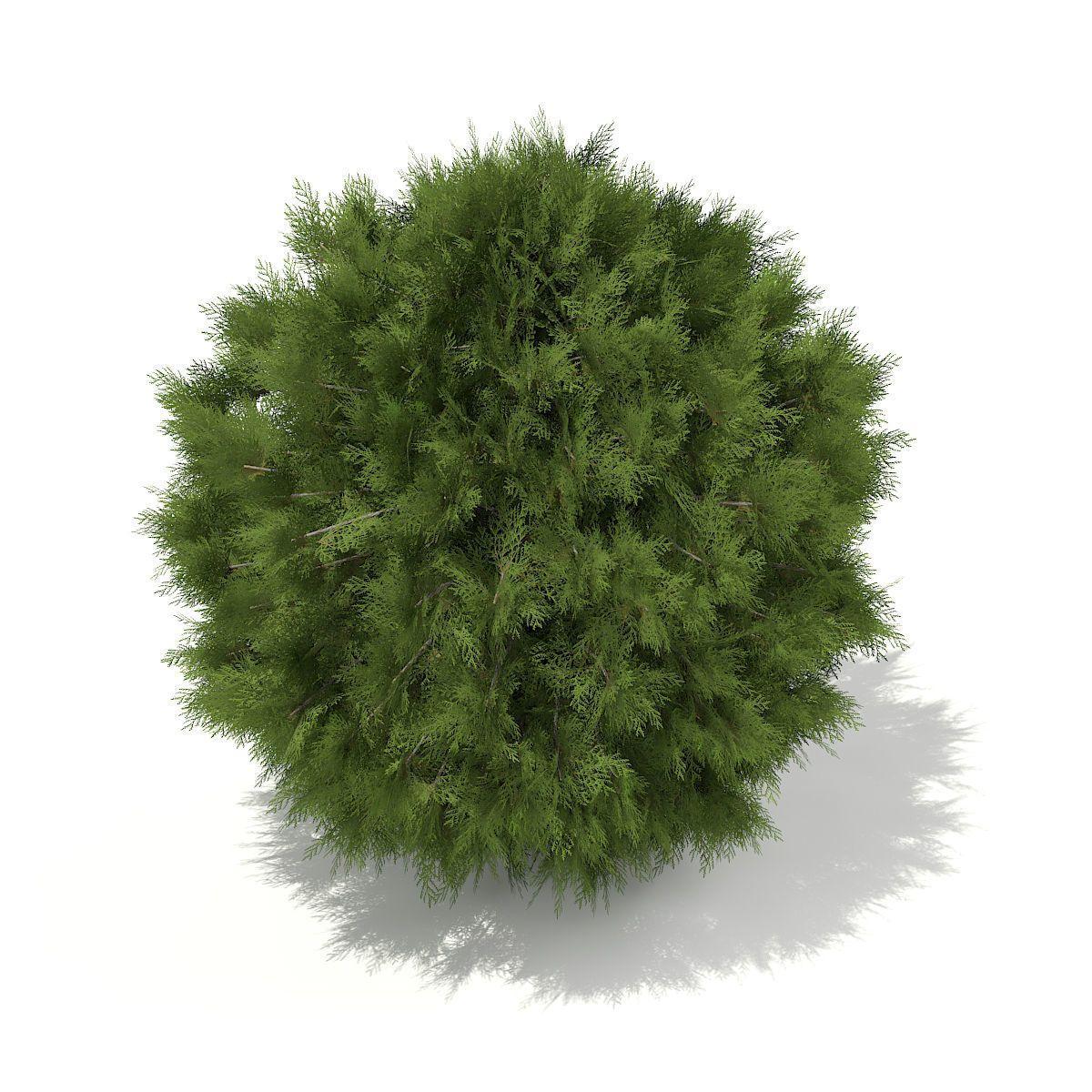 White Cedar Thuja Occidentalis 1m 3d Model Trees Top View Tree Photoshop Tree Plan