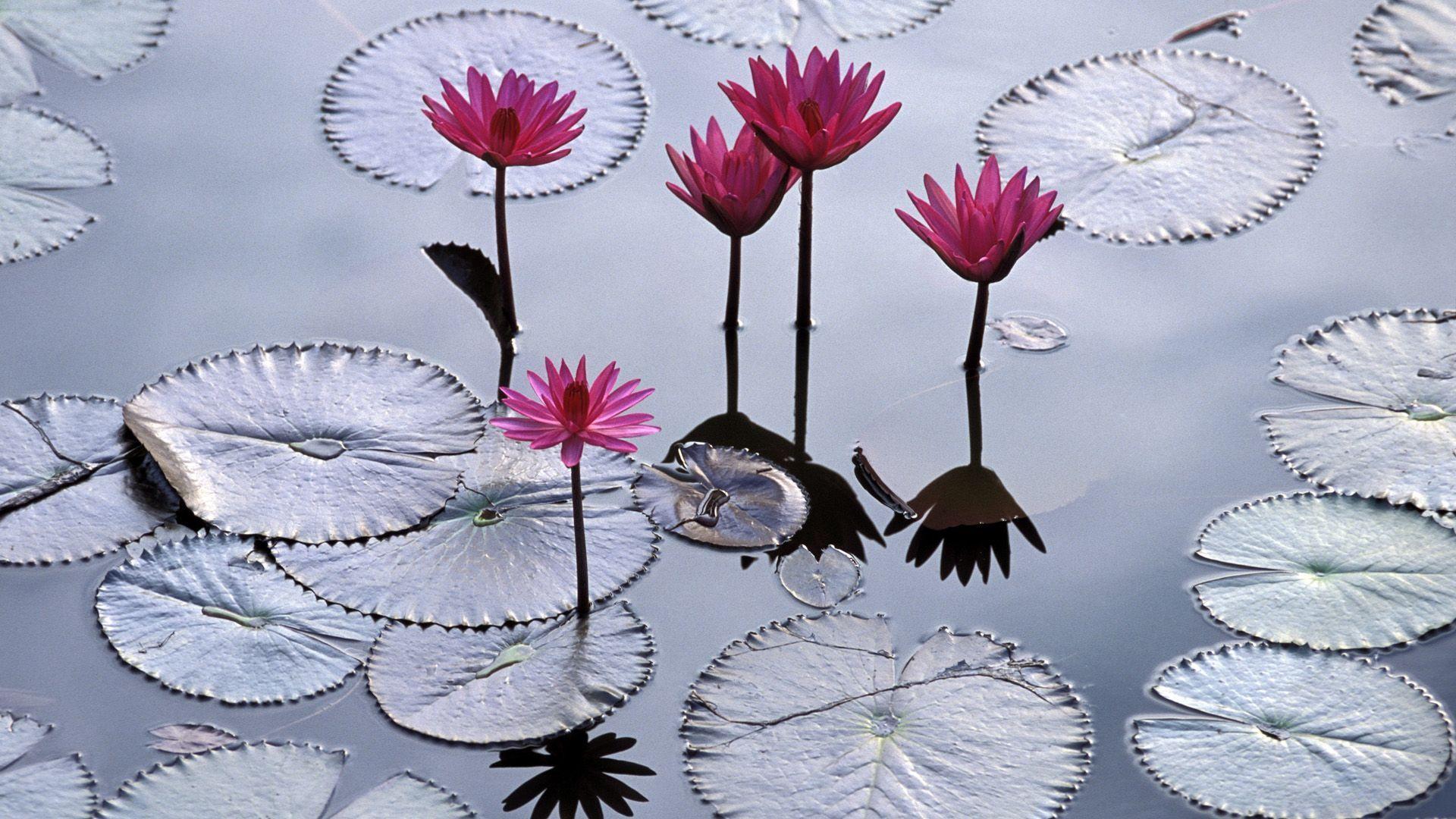 Pink lotuses Widescreen Flower Wallpaper Bunga