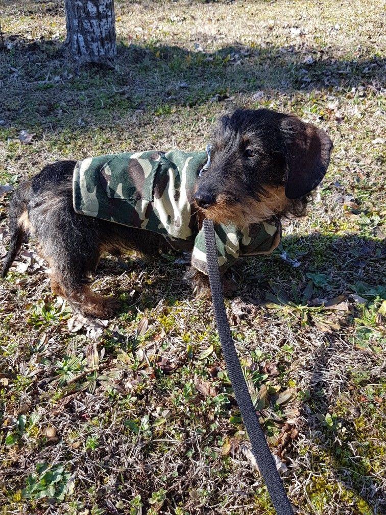 Wire haired dachshund puppies illinois
