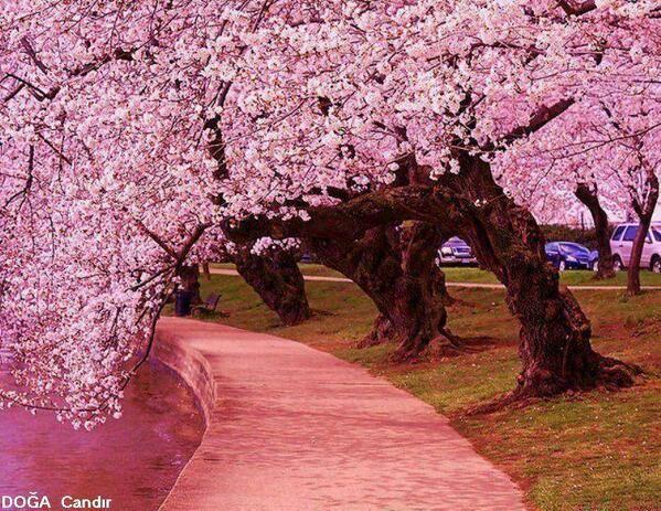 Cumaliyildizz Hotmail Com On Twitter Blossom Trees Japanese Cherry Tree Cherry Tree