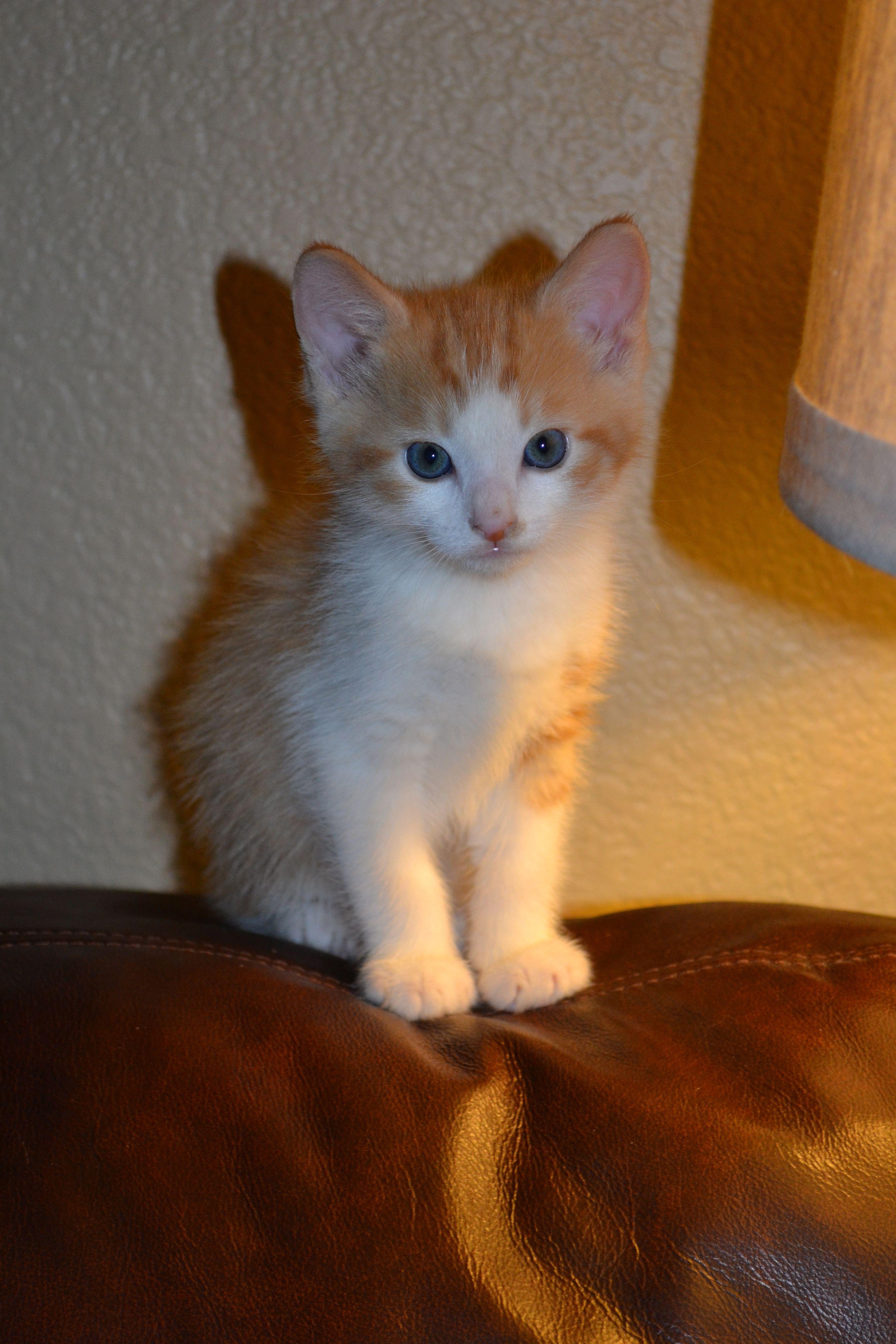 Orange/White Tabby Kitten Tabby kitten, Tabby, Pets