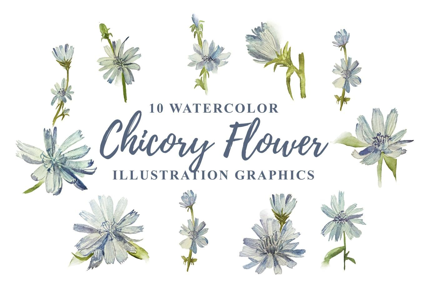 10 Watercolor Chicory Flower Illustration Graphics By Ianmikraz On