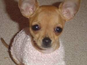 like facu...chihuahua puppy
