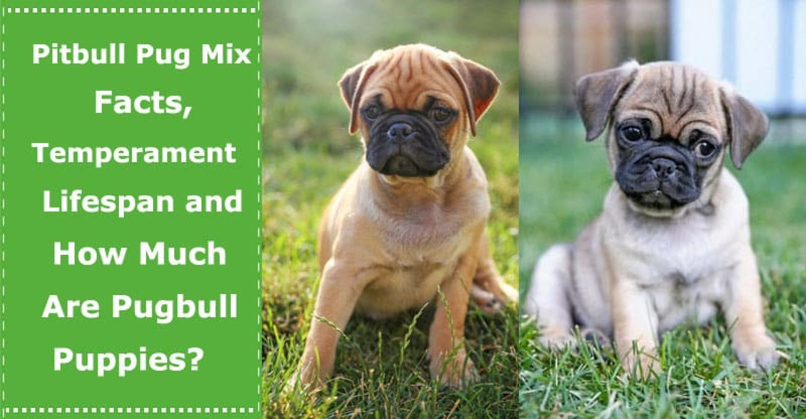 Pitbull Pug Mix Facts Temperament Lifespan And How Much Are The Pugbull Puppies Petxu In 2020 Pug Mix Mixed Breed Puppies Pitbulls