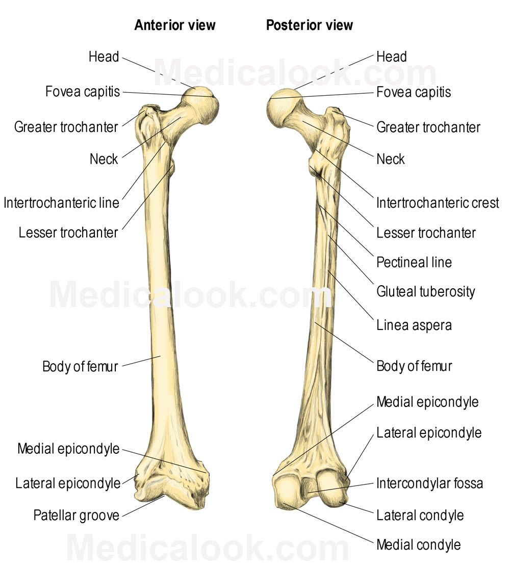 the femur consists of four parts: the head, greater trochanter, Human Body