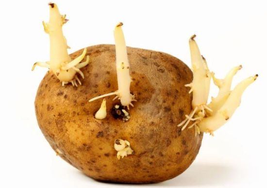 Potato sprouts are often seen when you store potatoes for a long duration. Normally potato sprout inhibition is done by using chemical inhibitors such as maleic hydrazide, CIPC or chlorpropham