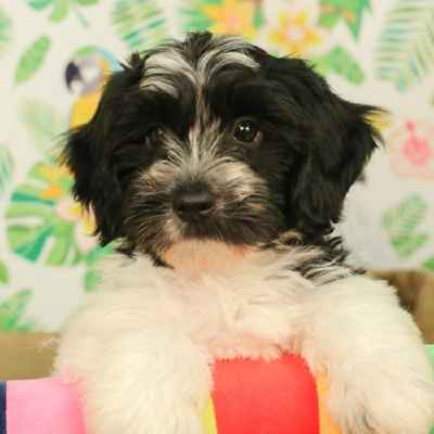 Havanese Puppies Available in Phoenix & Tucson, AZ