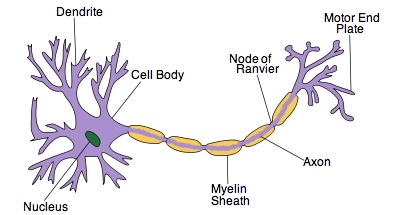 Ib biology notes 65 nerves hormones and homeostasis 652 draw ib biology notes 65 nerves hormones and homeostasis 652 draw and label a diagram of the structure of a motor neuron ccuart Gallery