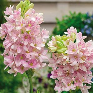 Gardenias Like Sun Or Shade