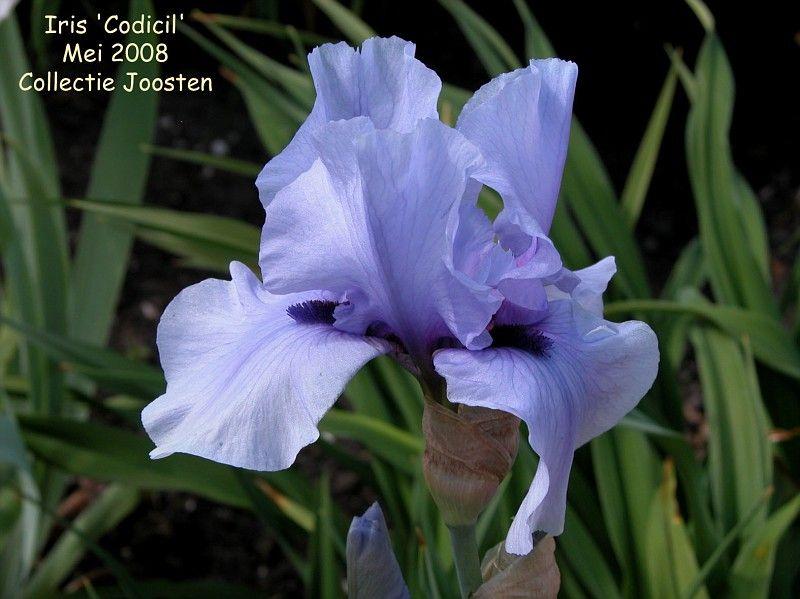 Iris Codicil