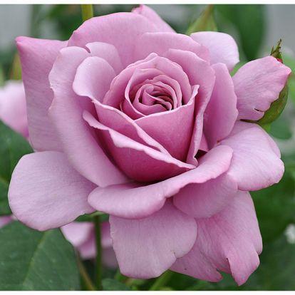 Silver Star Rosas Roxas Rosas E Rosas Vermelhas