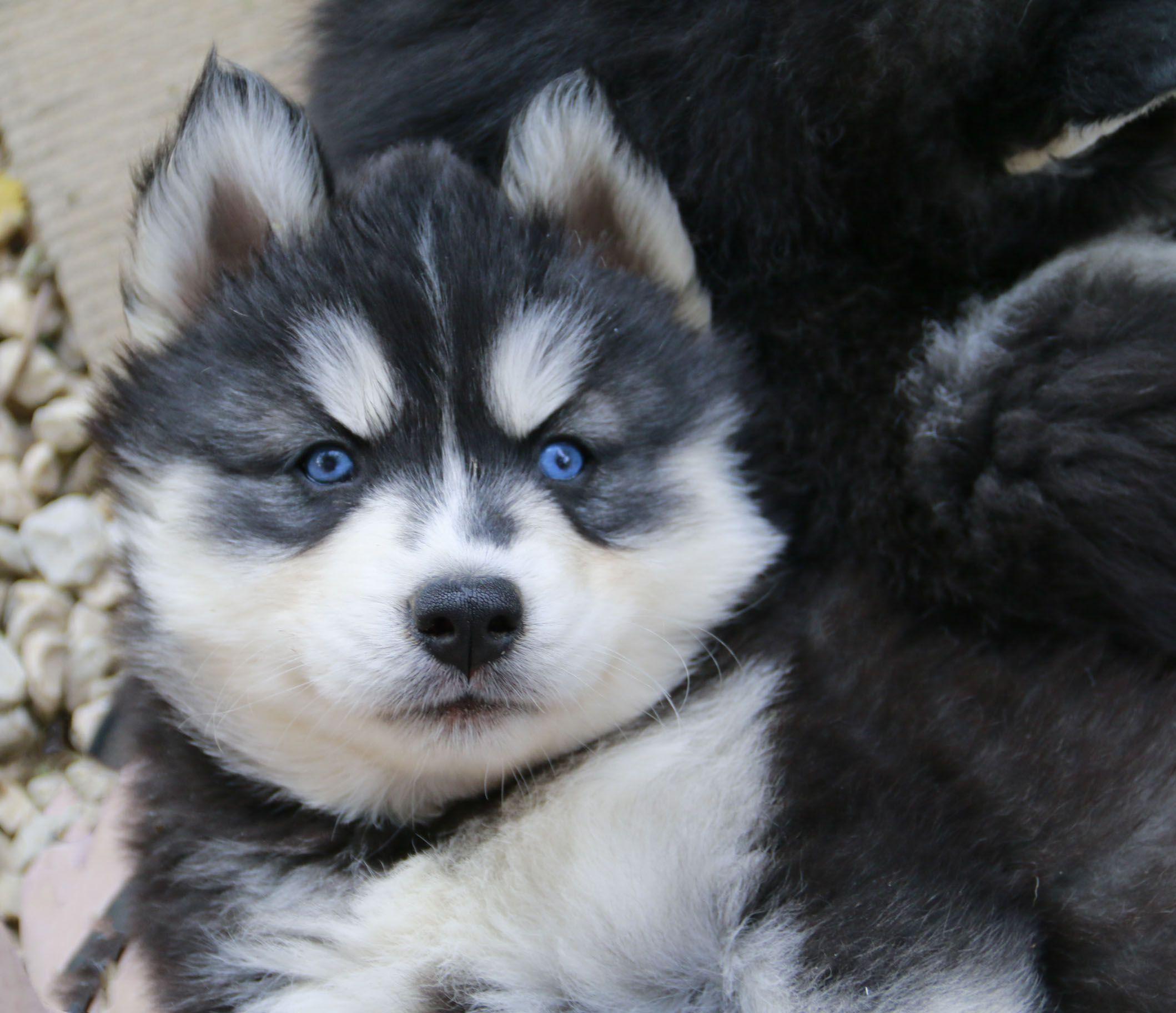 Cute Adorable Husky Puppy Siberianhusky Texashuskies Huskies Pets Dogs Blueeyes Beautiful Siberian Husky Husky Husky Puppy