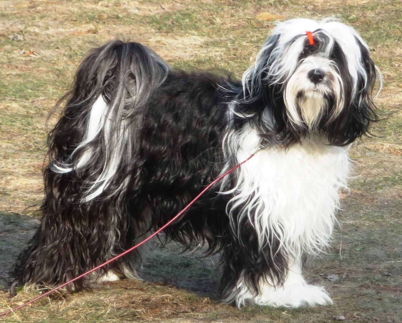 Daisy, a black and white Tibetan Terrier, almost 2 years