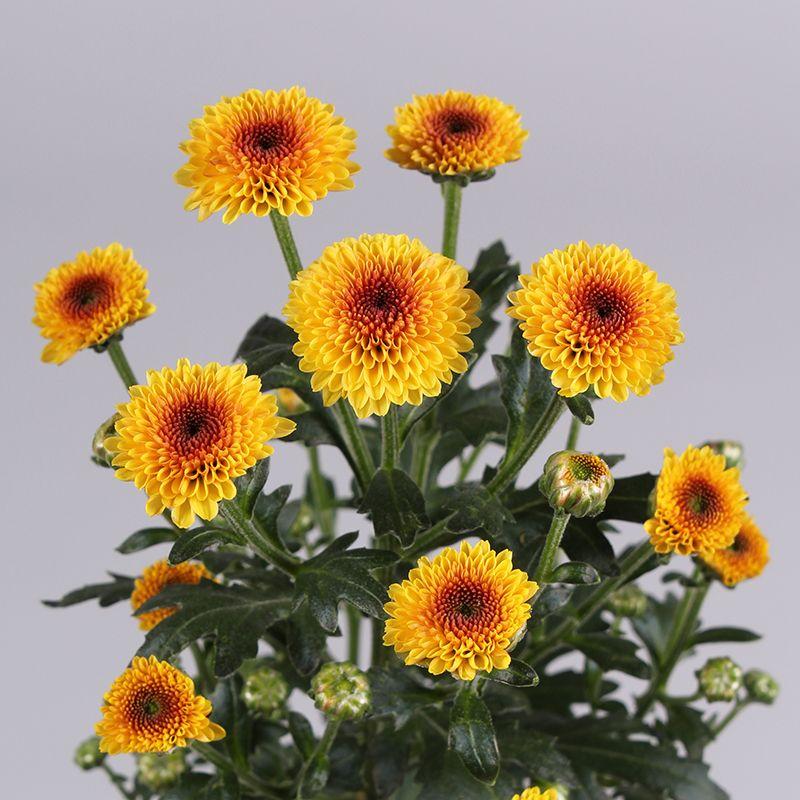 Calimero Santini Calimero Shiny Chrysanthemum Santini Chrysant Bloem Flower Flowers Plants Spring
