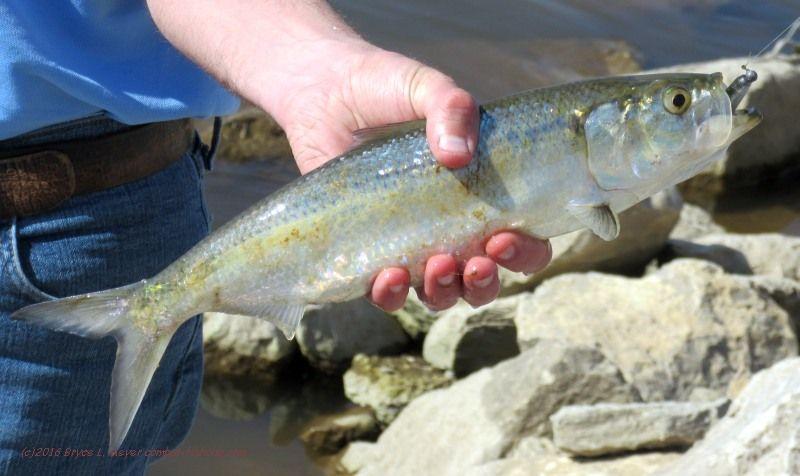 Fishing Forum : Freshwater Fishing Forum: Catfish, Gars ...  Skipjack Minnow