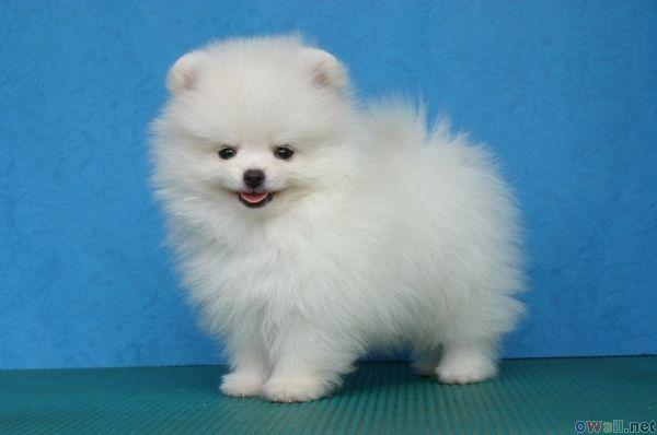 Miniature Polar Bear Pomeranian White Pomeranian Puppies