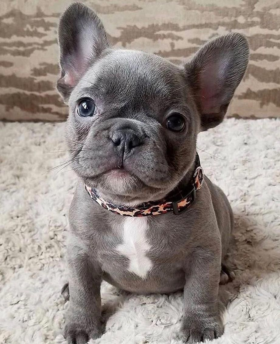 Adorable Blue French Bulldog Puppy Cute Baby Animals French